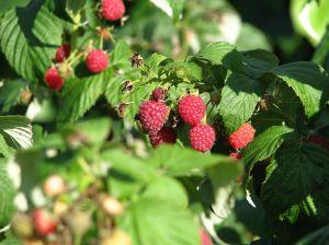 raspberries_